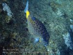Thai_SimilansTEMP_044_Yellow-Boxfish_P4231235.JPG