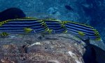 Thai_SimilansTEMP_054_Oriental-Sweetlips_P4241354.JPG