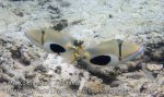 Thai_SimilansTEMP_124_Blackpatch-Triggerfish_P4231023_.jpg