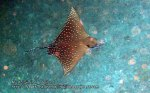 Thai_SimilansTEMP_140_Eagle-Ray_P4231276_.jpg