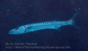Thai_SimilansTEMP_143_Great-Barracuda_P4241364.JPG