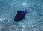 Thai_SimilansTEMP_147_Redtooth-Triggerfish_P4190030.JPG