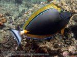 107_1ab-Orangespine-Unicornfish_P4154160_.JPG