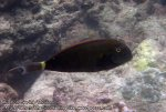 108_1ab-White-freckled-Surgeonfish_P4154165_.JPG