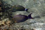 109_1ab-Yellowfin-Surgeonfish_P4154158_.JPG
