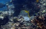 128_1d-Virgate-Rabbitfish_P4041728_.JPG