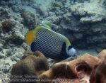 133_1d-Emperor-Angelfish_P4041697_.JPG