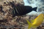 144_1e-Indian-Sailfin-tang_P4051984_.JPG