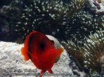 150_1f-Red-and-Black-anemone-fish_P4082735_.jpg