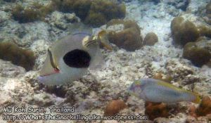 158_1f-Blackpatch-Triggerfish_P4103131_.jpg