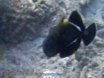 171_2a-Indian-Triggerfish_P4062161_.jpg