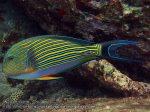 175_2b-Lined-Surgeonfish_P4062164_.JPG