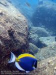176_2b-Powder-Blue-Surgeonfish_P4062168_.JPG