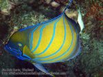 185_2d-Blue-Ringed-Angelfish_P4062200_.jpg