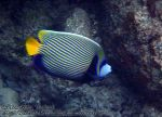 200_2g-Emperor-Angelfish_P4062273_.jpg