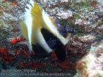 202_2gh-juvenile-Phantom-Bannerfish_P4062278_.JPG