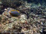 208_2j-Orangespine-Unicornfish_P4062318_.JPG