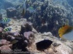 Thai_Surins_226_2-3-Sergeant-Major-Damselfish-Threadfin-Redfin-Butterflyfish-Whitetail-Damselfish_P4051872_