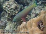 281_4b-Parrotfish_P4062002_.JPG