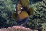 285_4b-Titan-Triggerfish_P4061997.JPG