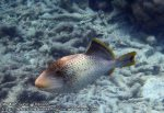 286_4b-Yellowmargin-Triggerfish_P4072391_.JPG