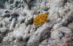 287_4b-Juvenile-Yellow-Boxfish_P4072396_.JPG