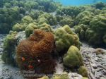 294_4c-Nemos-and-Green-Porites-Coral_P4082679_.JPG