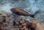 305_4c-PROBABLY-Tricolor-Parrotfish-IP_Sacrus-tricolor_P4072484_.JPG