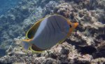 307_4c-Yellowhead-Butterflyfish_P4072428_.JPG