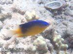 312_4c-Blueback-Damselfish_P4092780_.JPG