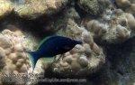 315_4c-Bird-Wrasse-TP_P4113496_.JPG