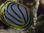 334_4d-Meyers-Butterflyfish_P4113530_.JPG