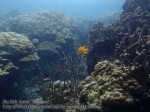 341_4ef-Gorgonian-and-Golden-Damsel_P4113573_.JPG