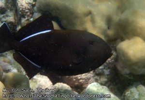 361_4g-Indian-Triggerfish_P4092824_.jpg