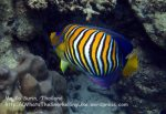 363_4c-Regal-Angelfish_P4082566_.jpg