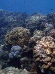 373_5a-Reeftop-corals_P4082606.JPG