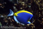 380_5a-Powderblue-Surgeonfish_P4082581_.JPG