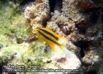 384_5a-Yellowtail-Damselfish_P4082594_.JPG