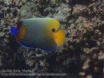427_6a-Yellow-Mask-Angelfish_P4092882.JPG