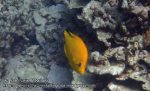 433_6ab-Yellow-Variation-Slingjaw-Wrasse-IP_P4092890.JPG