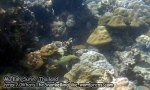 436_6b-Many-Spotted-Sweetlips_P4092895_.jpg