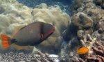 467_7c-Orangelined-Triggerfish_P4092954.JPG