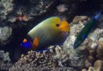 475_7d-Yellowmask-Angelfish_P4092924.JPG