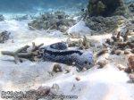 499_8a-Elephant-Trunk-sea-cucumber_Holothuria-fuscopunctata_P4123712.JPG