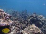 514_8f-Corals-Andaman-butterflyfish_P4123669.JPG