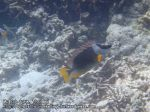 517_8f-Magnificent-Rabbitfish_P4123689.JPG