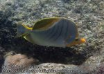 527_8i-Yellowhead-Butterflyfish_P4123655_.JPG