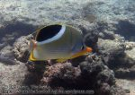528_8i-Saddled-Butterflyfish_P4123661_.JPG
