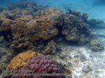 563_9b-Coral-Oriental-Sweetlips_P4113455_.JPG