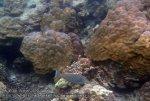 603_Area10-Bluespine-Unicornfish_P4103370_.JPG
